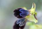 Ophrys iricolor, Samos (Gr.) 2015-04-13