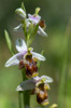 Ophrys dodecanensis, Samos 2015-04-16