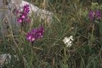 Anacamptis boryi, Kreta 1998-04-13