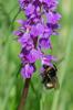 Orchis mascula subsp. mascula, humla som pollinerar, Österplana, Kinnekulle (Se.)