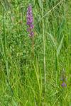 Anacamptis palustris subsp. palustris, Lesvos (Gr.) 2015-05-16