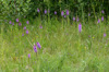 Dactylorhiza praetermissa, Lidköping 2013-06-29