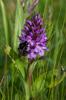 Dactylorhiza praetermissa med möjlig pollinisatör, Lidköping 2015-06-20