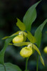 Cypripedium calceolus, Tierp 2015-06-15