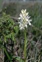 Dactylorhiza incarnata subsp. incarnata var leucantha, Hagebyhöga (Se.) 2002-06-08
