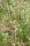 Anacamptis sancta var. alba, Spides, Lesbos (Gr.) 2015-05-17