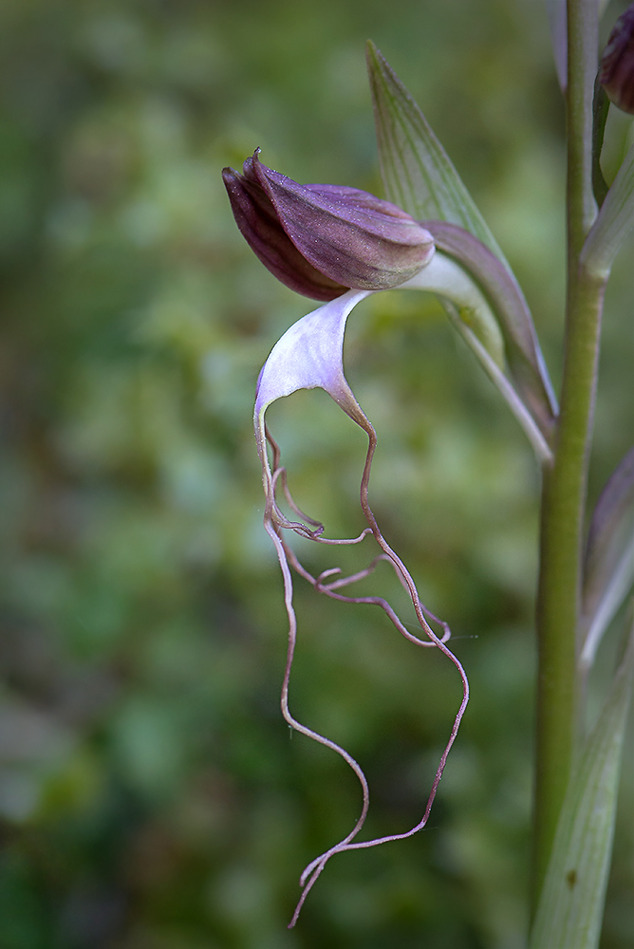 Minne från Lesvos 2015-05-13, skäggnycklar (Himantoglossum comperianum)