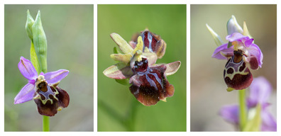 Three species from day 1. From left: Ophrys samiotissa, Ophrys mammosa, Ophrys umbilicata