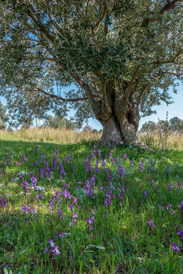 Samos 2015-04-14 Orchis anatolica i en gammal olivodling.