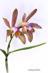 Cattleya forbesii II
