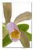 Cattleya forbesii III