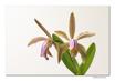 Cattleya forbesii IV