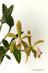 Cattleya forbesii V