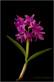 Cattleya bowringiana III