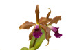 Cattleya Kupferprinz I