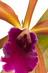 Cattleya Kupferprinz V