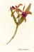 Cattleya Kupferprinz VI