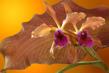 Cattleya Kupferprinz VII