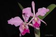 Cattleya labiata I