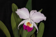 Cattleya trianae I