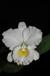Cattleya'Bogren' III