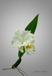 Cattleya'Bogren'