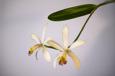 Cattleya intermedia hybrid