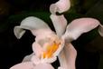 Coelogyne cristata I