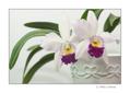 Laeliocattleya White Cinderela II