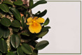 Dendrobium jenkensii I