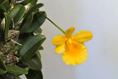 Dendrobium jenkensii II