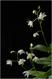 Dendrobium kingianum alba