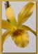Dendrobium Stardust II