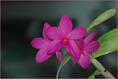 Dendrobium sulawesiensis III