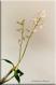 Dendrobium x delicatum I
