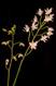 Dendrobium x delicatum II