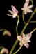 Dendrobium x delicatum III