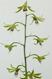 Eulophia hybrid_001