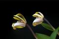 Maxillaria picta II