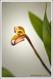 Maxillaria picta III