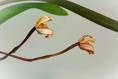 Maxillaria picta IX