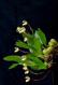 Maxillaria picta VI