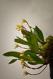 Maxillaria picta VII