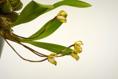 Maxillaria picta VIII