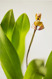 Maxillaria picta IV