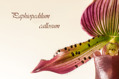 Paphiopedilum callosum I
