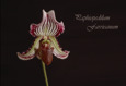 Paphiopedilum farrieanum