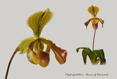 Paphiopedilum Queen of Denmark I