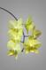Phalaenopsis yellow hybrid