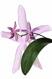 Phalaenopsis schilleriana x mariae II